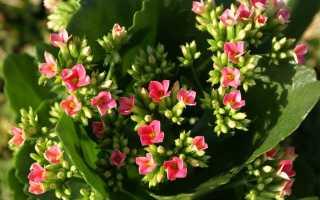 Как заставить каланхоэ цвести